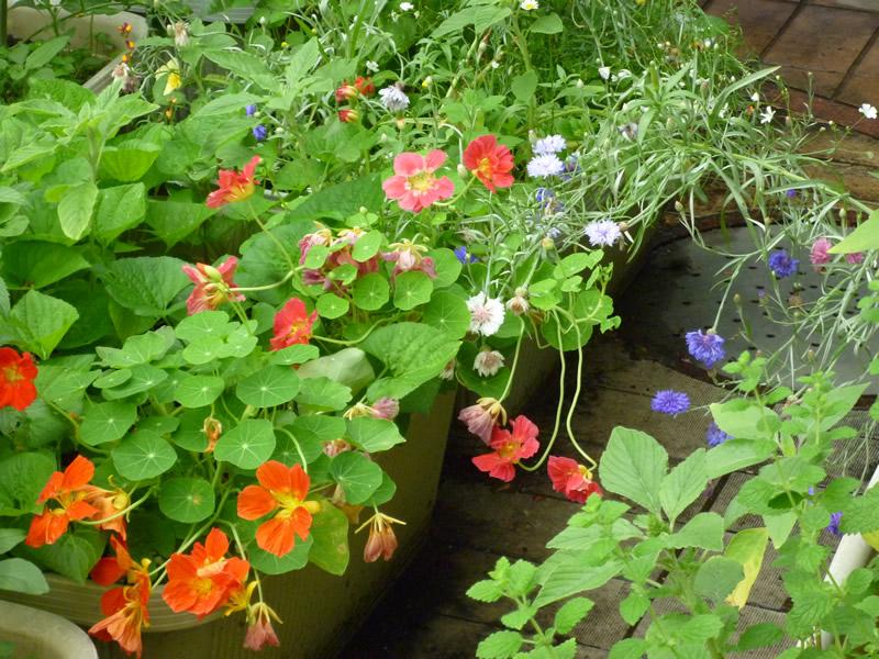 ミツバチのために花や野菜も植えている「さっぱちガーデン」