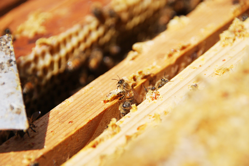 このミツバチはいま何の仕事をしているところでしょうね