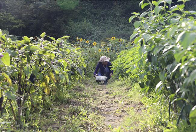 野菜の生命力が強ければ、雑草だらけでも負けない。ピーマンも甘く育つ
