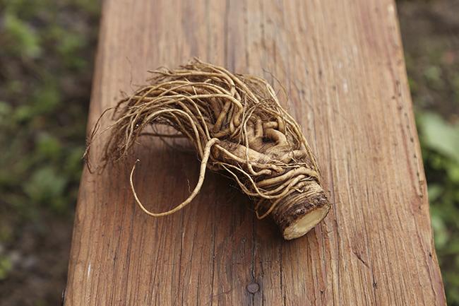 漢方薬として使われるトウキの根