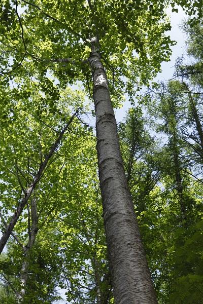 「広葉樹の女王」と称され、家具や内装材などに珍重されるウダイカンバの木。別名マカバ。札幌南高学校林には、このような木々が大切に残されている